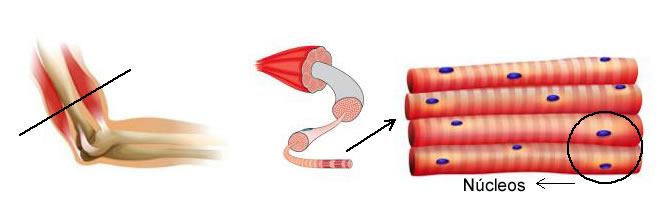 nucleo_celula